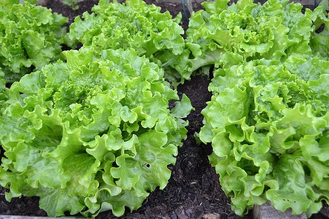 insalata-orto