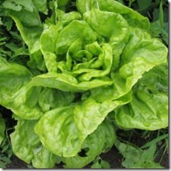1219974_lettuce_on_a_field