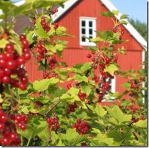 412644_currant_berries_4